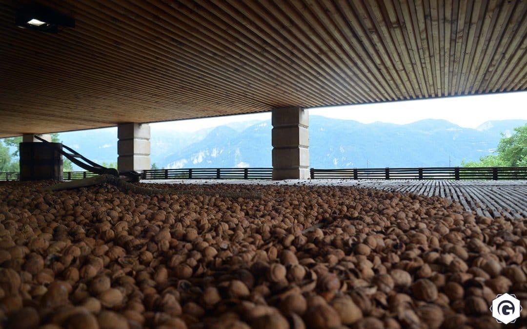 Noix en train de séchées dans le Grand Séchoir, musée de la noix à Vinay